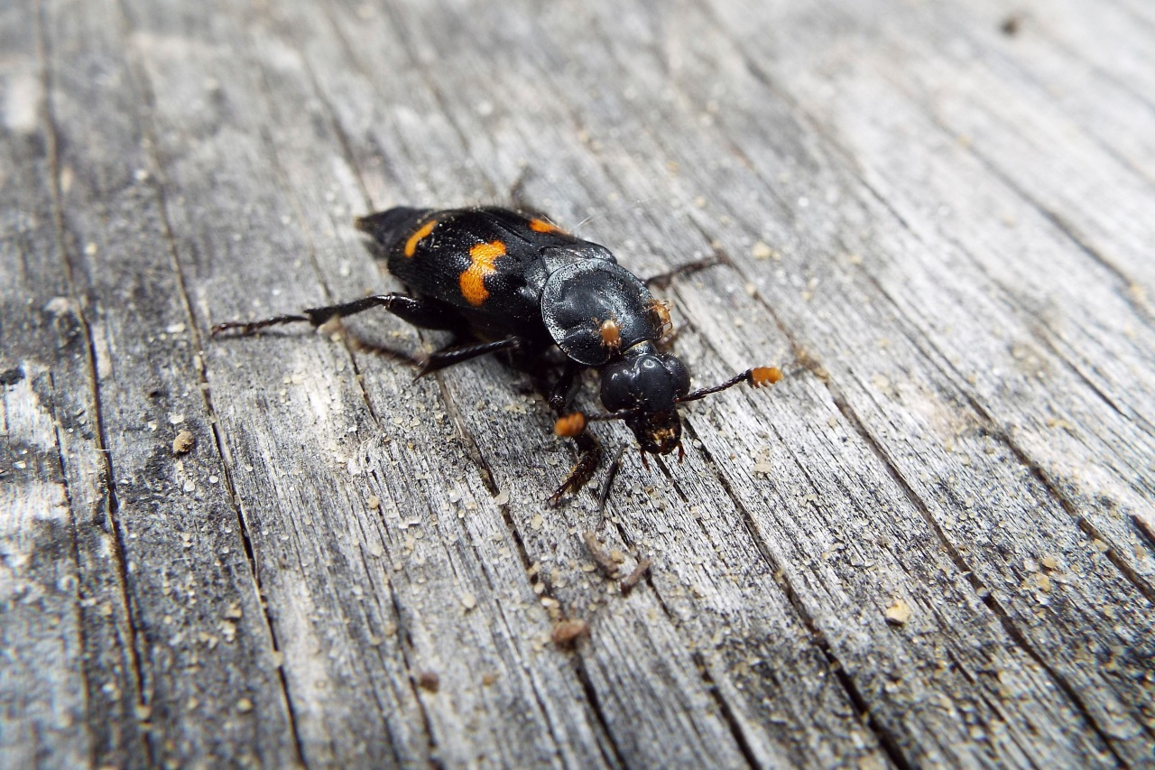 Beetle keeps rivals off scent of food buried for offspring - CW33 NewsFix